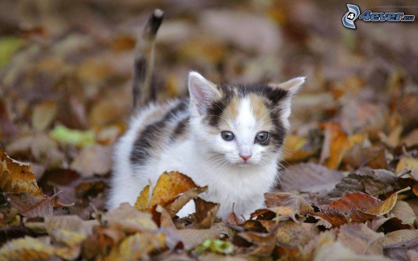 gatito pequeño, hojas secas