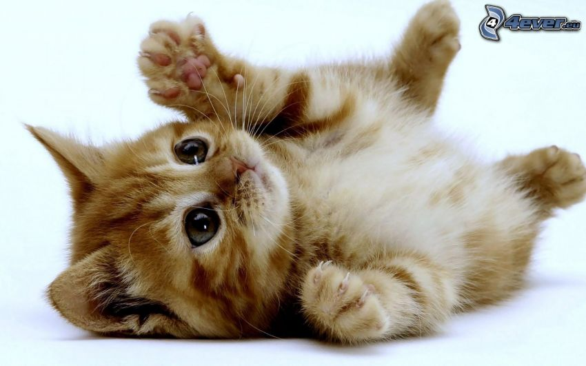 gatito pequeño, pies