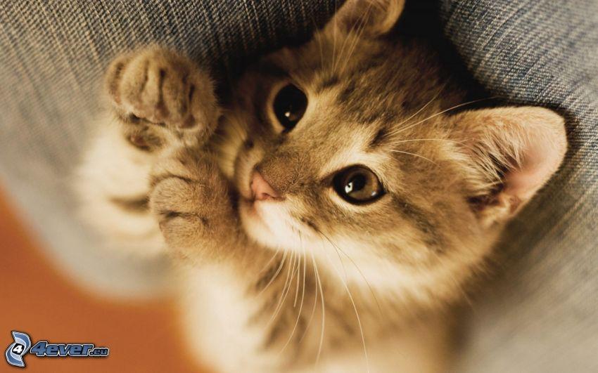 gatito pequeño