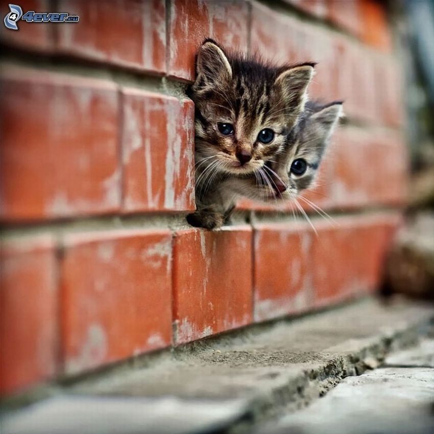 gatitos, ladrillos, muro