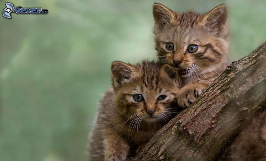 gatitos, tribu