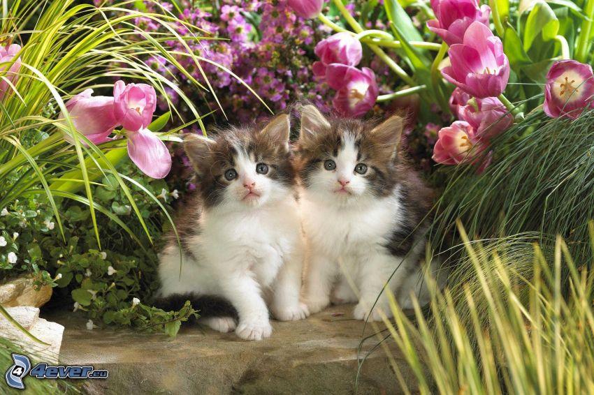 gatitos, tulipanes de color rosa
