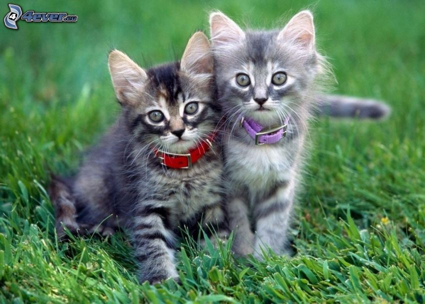 gatitos grises, collar, hierba