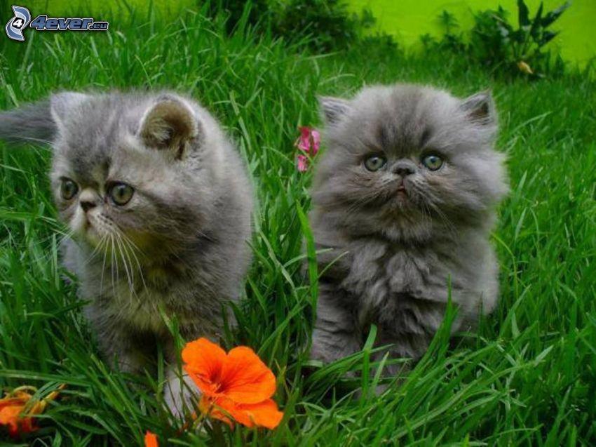 gatitos grises, hierba, flor de naranja