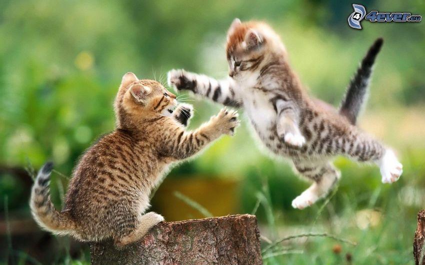 gatitos jugando, juego, ataque