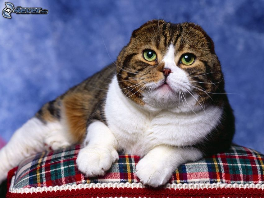 gato, almohada