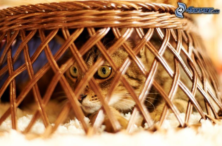 gato, cesta