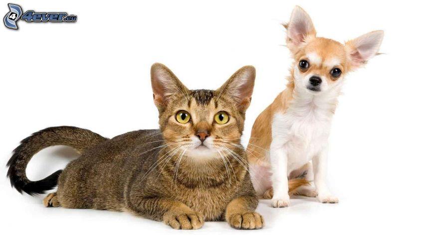 gato, chihuahua