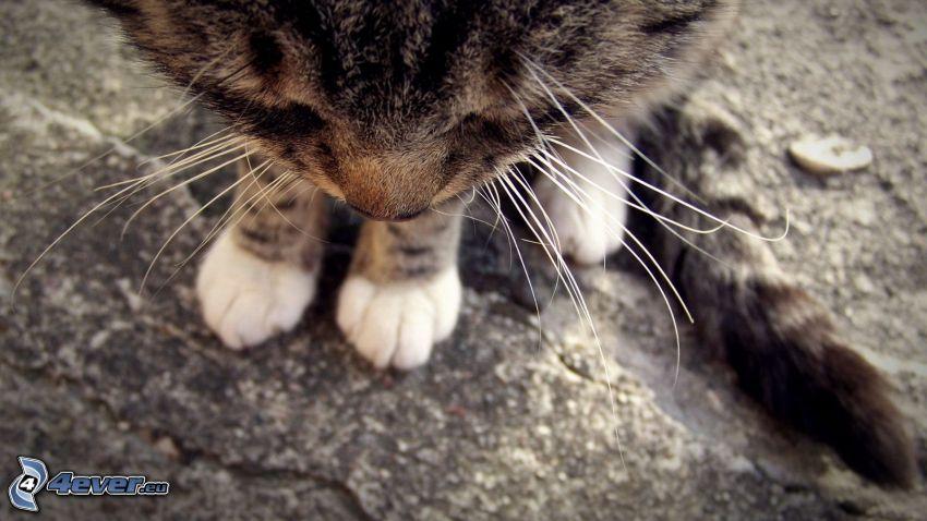 gato, hocico, pies