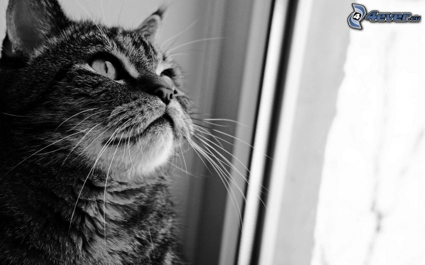gato, ventana, blanco y negro