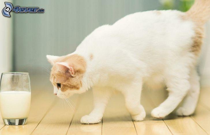 gato blanco, leche