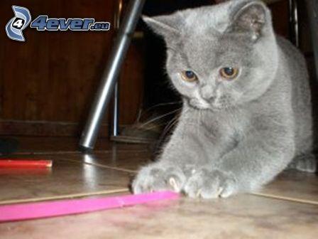 Gato británico, gato gris