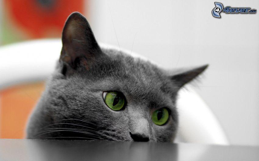 Gato británico, ojos verdes