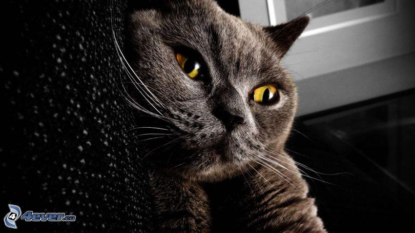 Gato británico, rostro felino