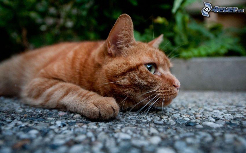 gato de pelo pelirrojo, acera