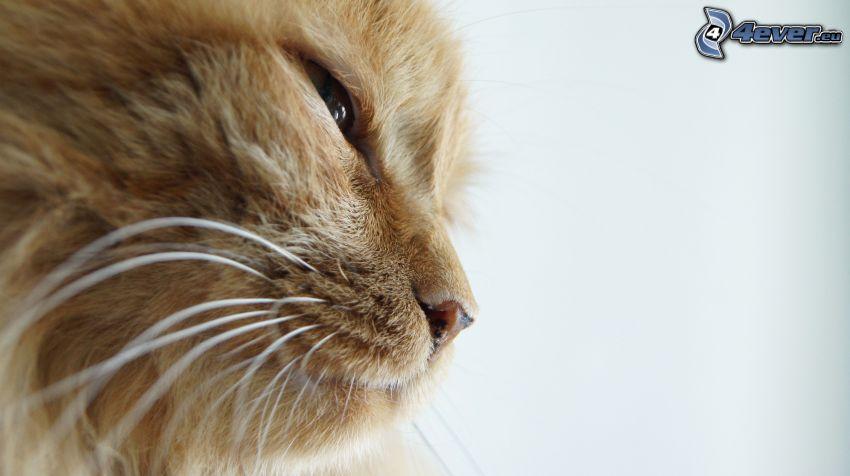 gato de pelo pelirrojo, cabeza de felino