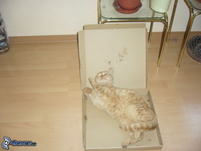 gato de pelo pelirrojo, caja