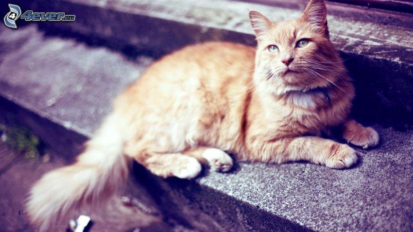 gato de pelo pelirrojo, escalera