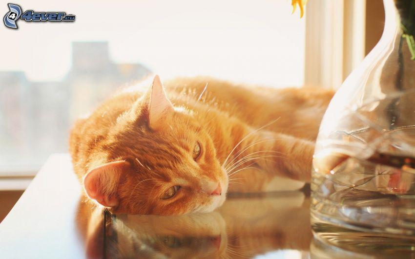 gato de pelo pelirrojo, florero
