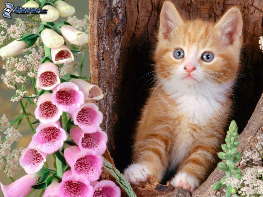 gato de pelo pelirrojo, flores de color rosa, ojos azules