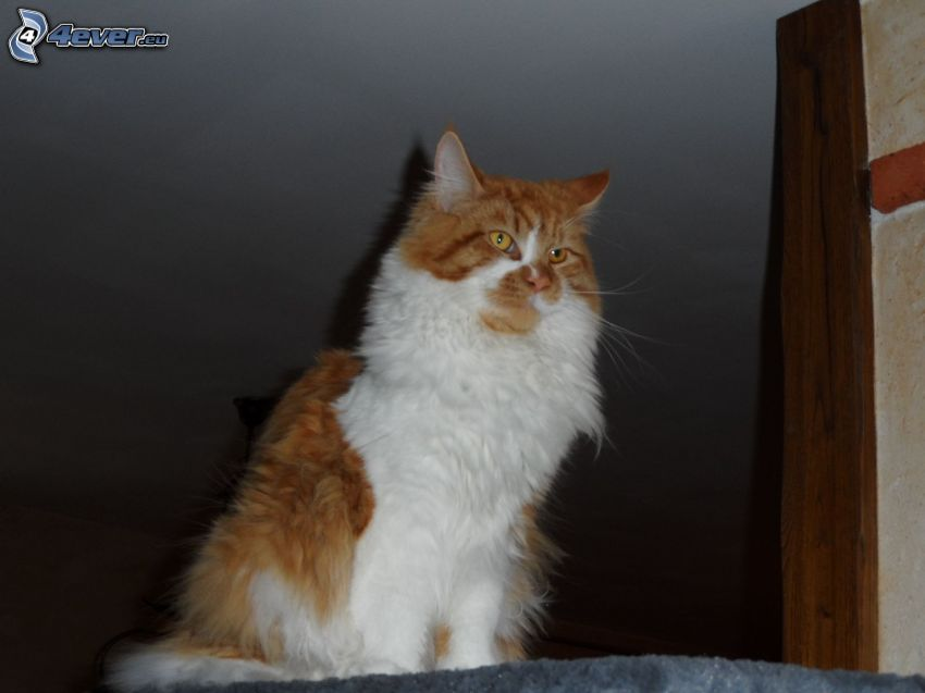 gato de pelo pelirrojo, gato peludo