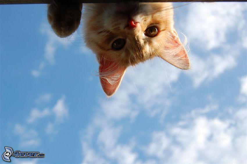 gato de pelo pelirrojo, mirada, nubes