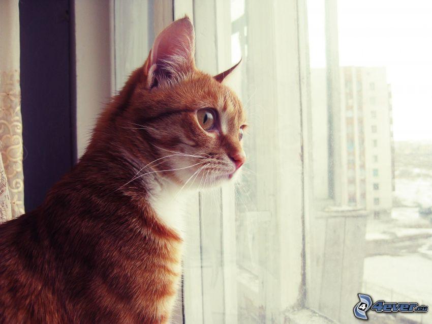 gato de pelo pelirrojo, mirada