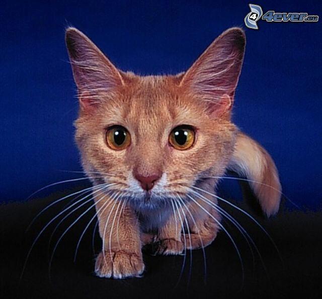 gato de pelo pelirrojo, mirada de gato