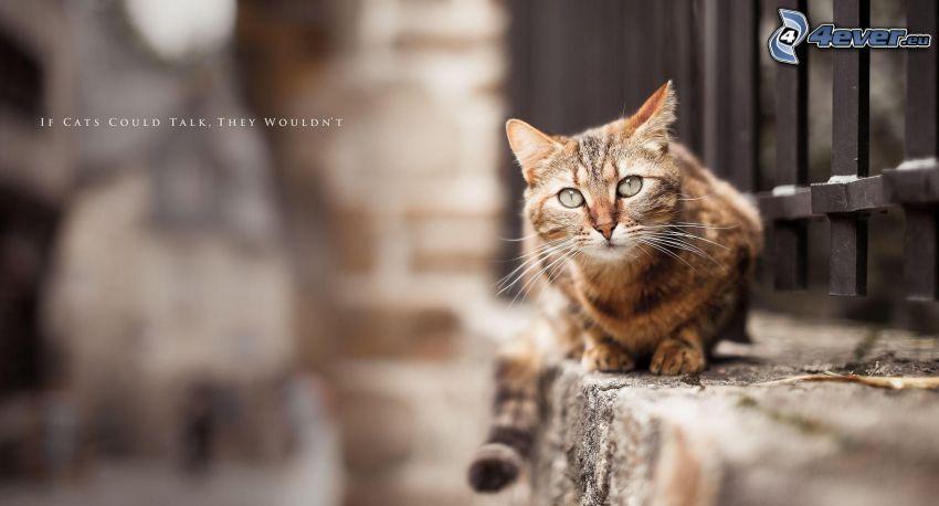 gato de pelo pelirrojo, muro, text