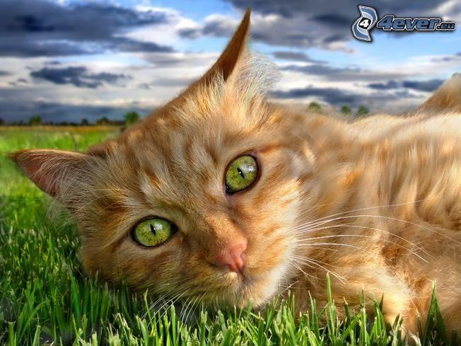 gato de pelo pelirrojo, ojos verdes de un gato, césped