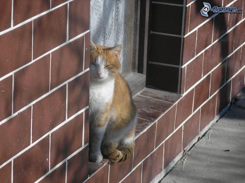 gato de pelo pelirrojo, pared, ventana