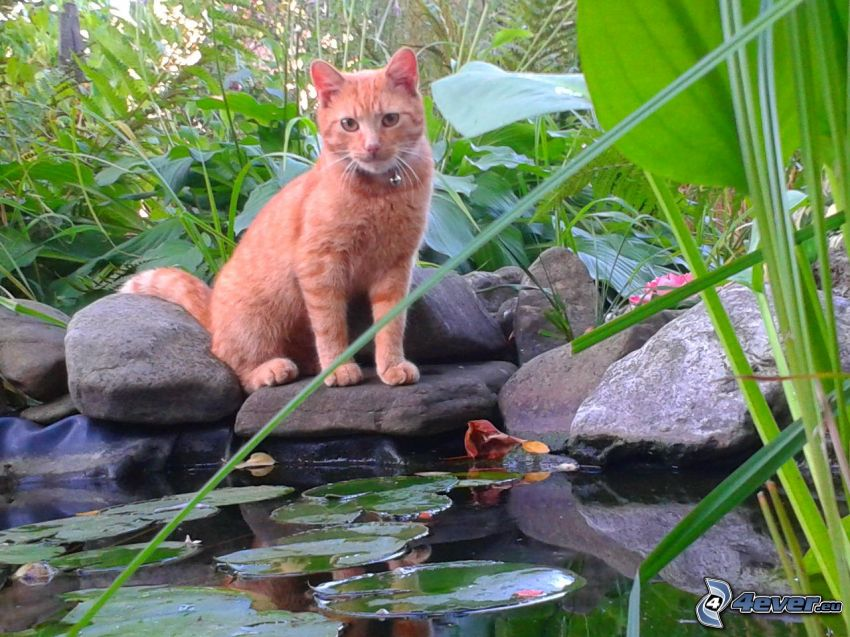gato de pelo pelirrojo, piscina