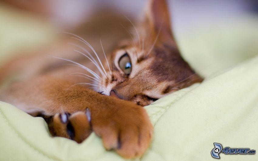 gato de pelo pelirrojo, relajación