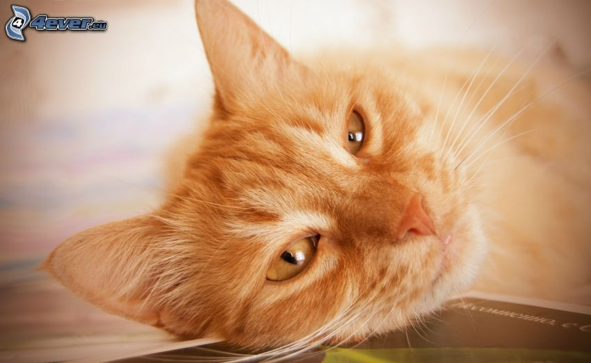 gato de pelo pelirrojo, rostro felino