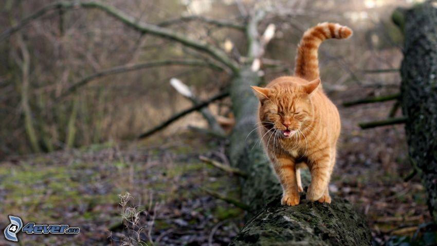 gato de pelo pelirrojo, tribu