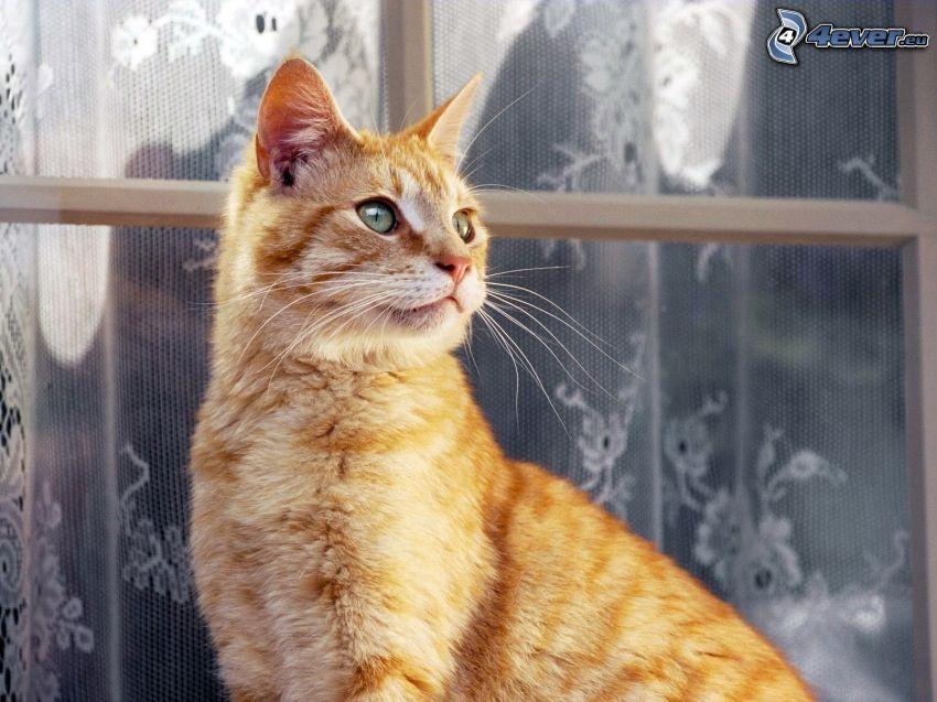 gato de pelo pelirrojo, ventana