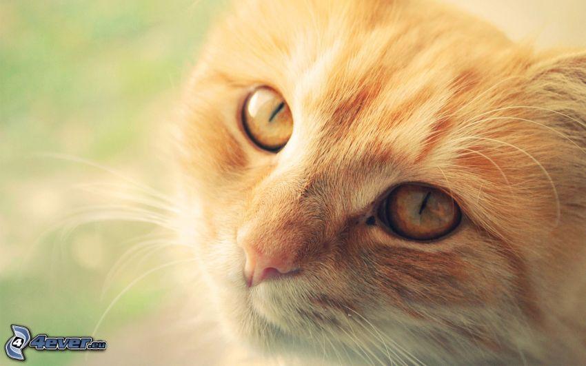 gato de pelo pelirrojo