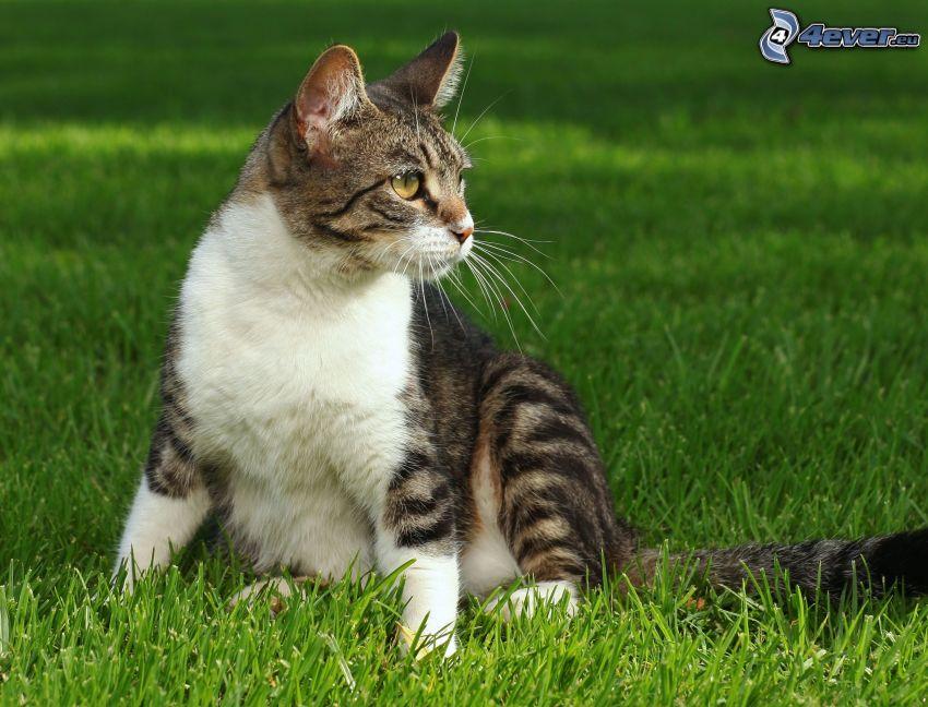 gato en la hierba, césped
