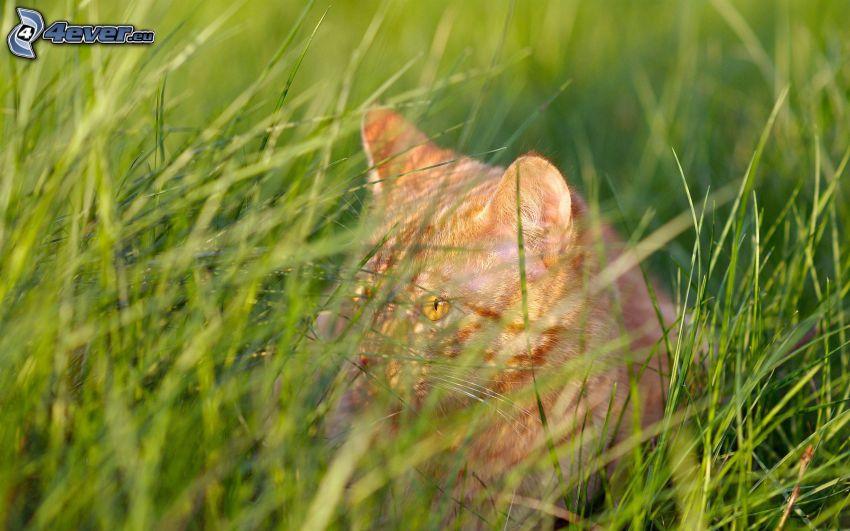 gato en la hierba, gato de pelo pelirrojo, mirada