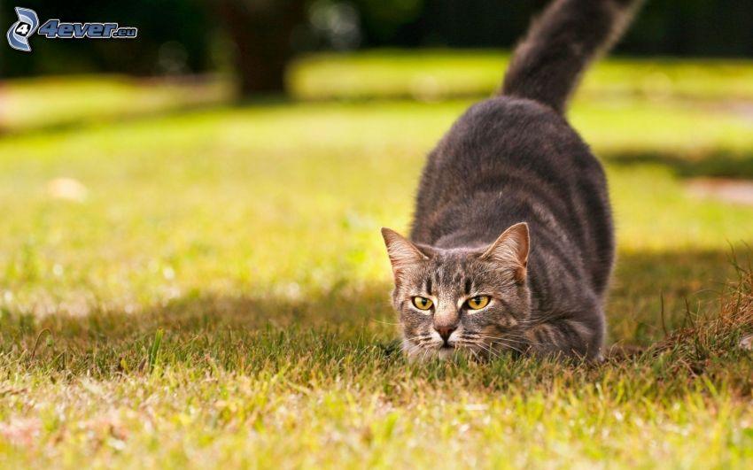 gato gris, caza, césped