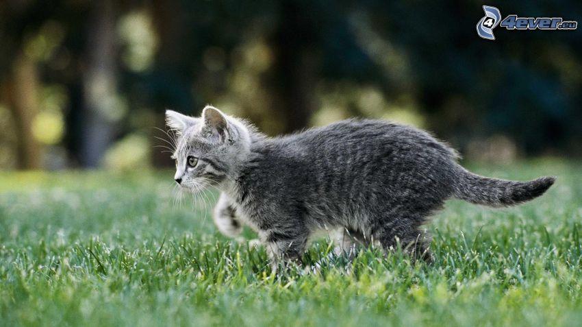 gato gris, hierba