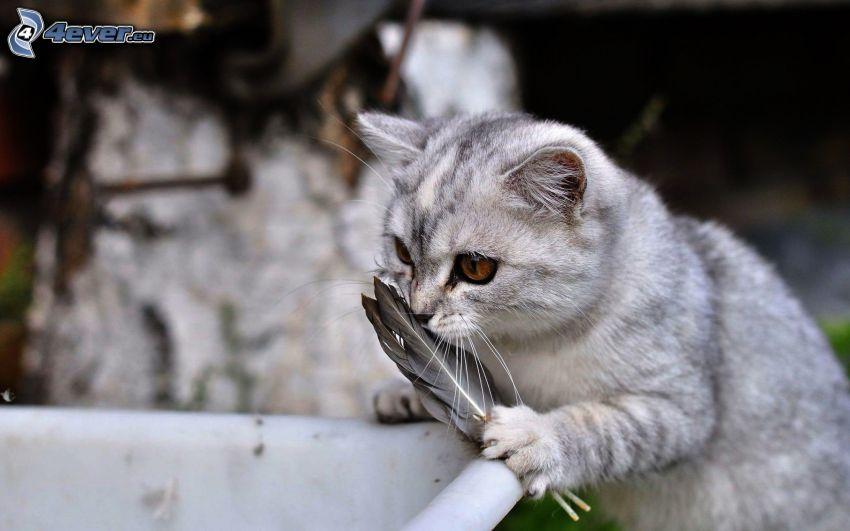 gato gris, plumas
