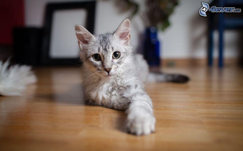 gato gris, tabla de entarimado