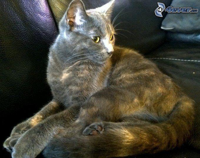 gato gris
