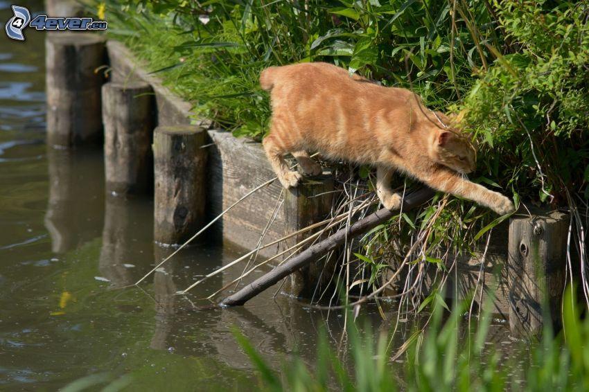 gato marrón, agua