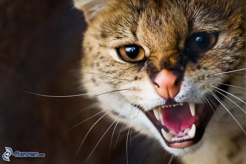 gato marrón, colmillos
