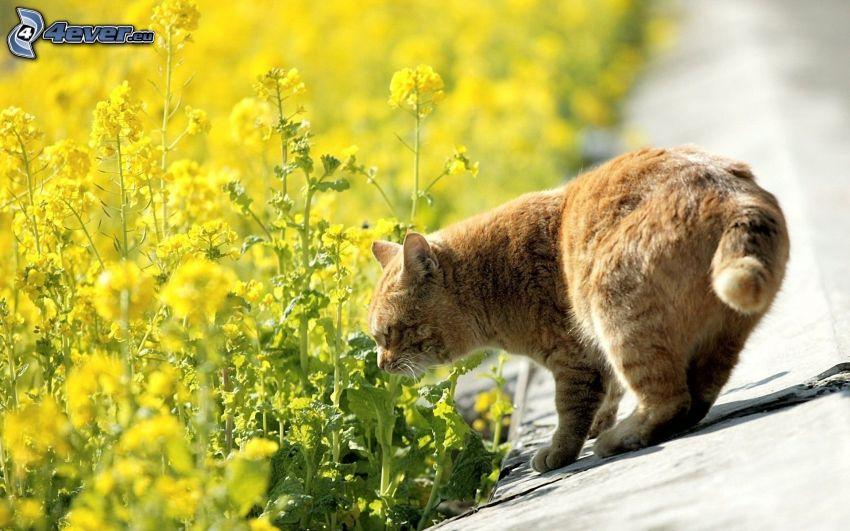 gato marrón, colza de aceite