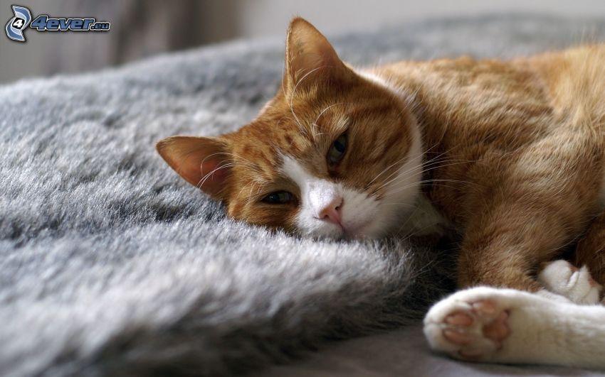 gato marrón, descanso