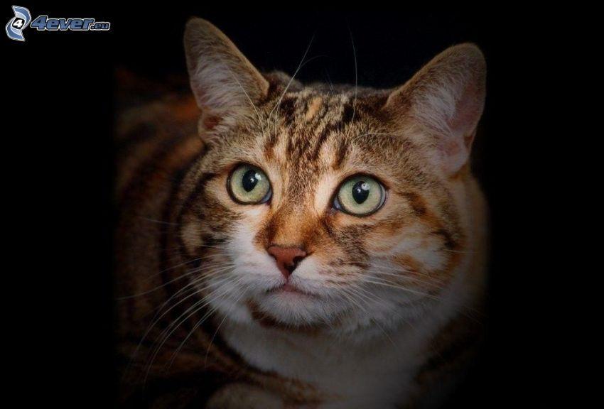 gato marrón, mirada de gato
