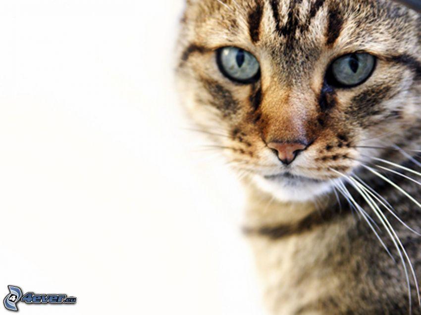 gato marrón, ojos de gato